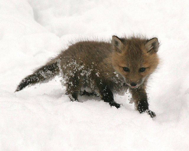 Kit Fox | Dear Defenders: Here is a photo of a tiny fox kit … | Flickr