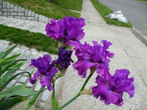 .Iris - Majestic Ruler