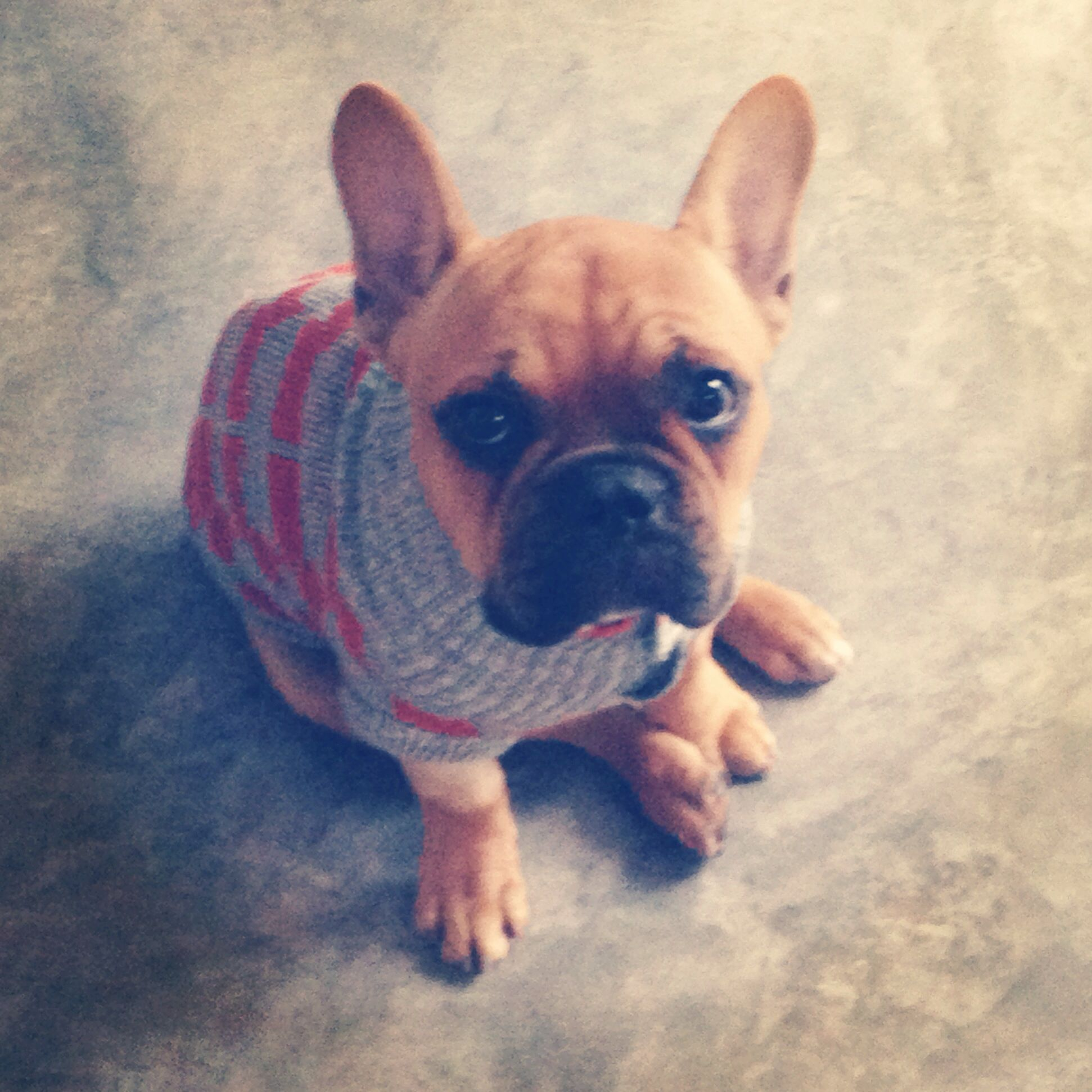 Back home after a week in the hosp french bulldog
