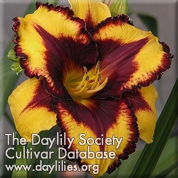 Daylily Goldenzelle