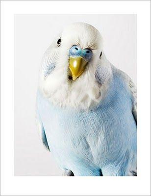 portrait of a parakeet awwwww