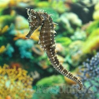Black Seahorse Hippocampus Sp For Sale Online Petsolutions Reef Safe Fish Seahorse Marine Fish