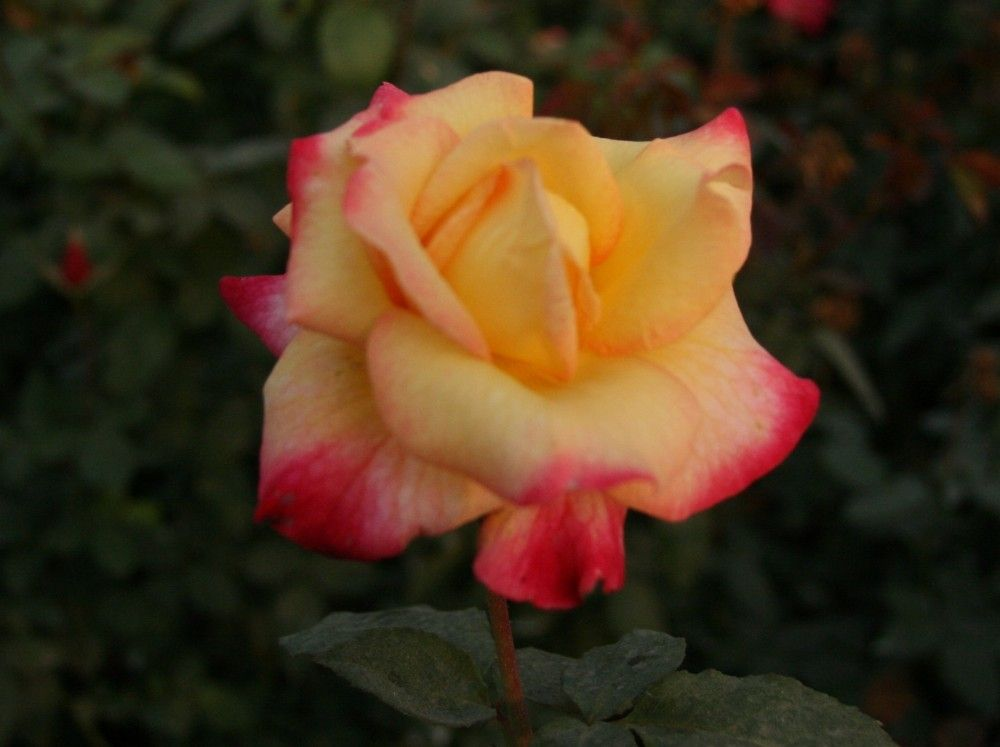 Buy Chinese Hybrid Tea Rose Ht8004 From For 7 87 Only In Main Website Hybrid Tea Roses Rose Bloom