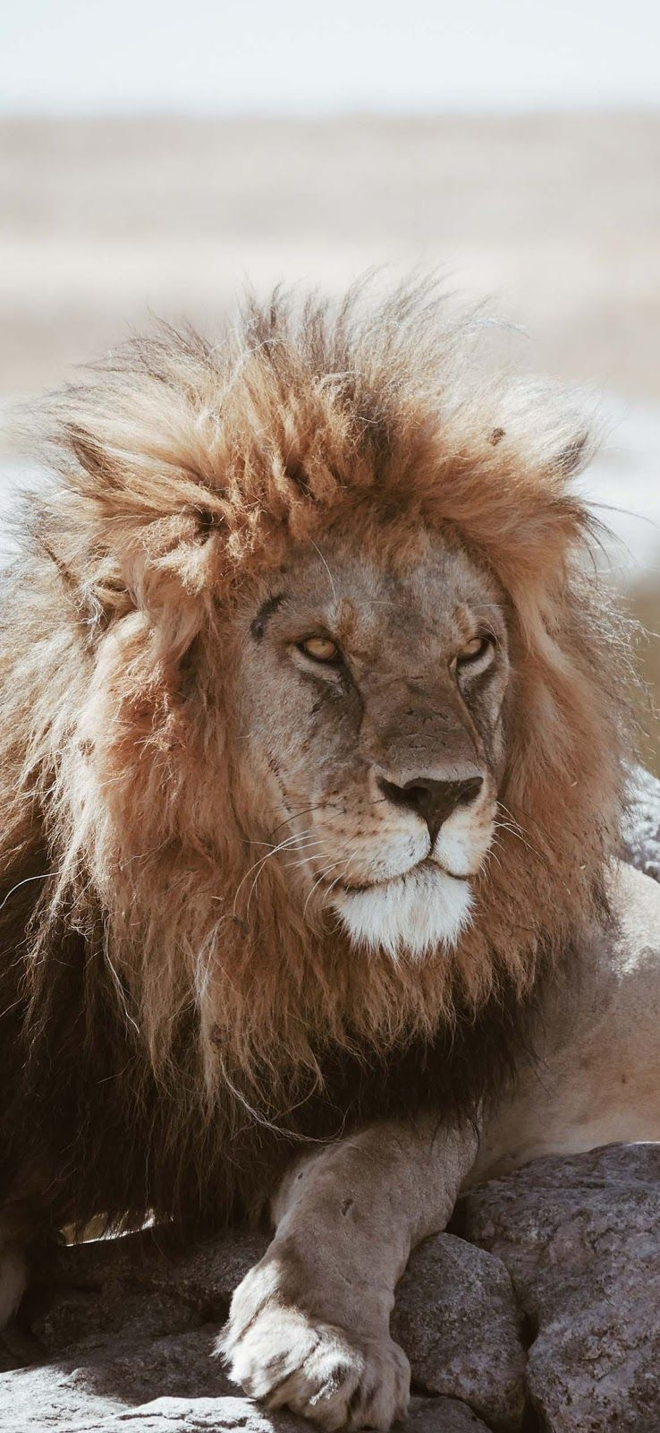 Pin By خلفيات On صور خلفيات موبايل ايفون روعه Lion Animals