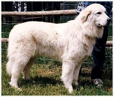 What S That Big White Dog Maremma Dog Maremma Sheepdog Farm Dogs