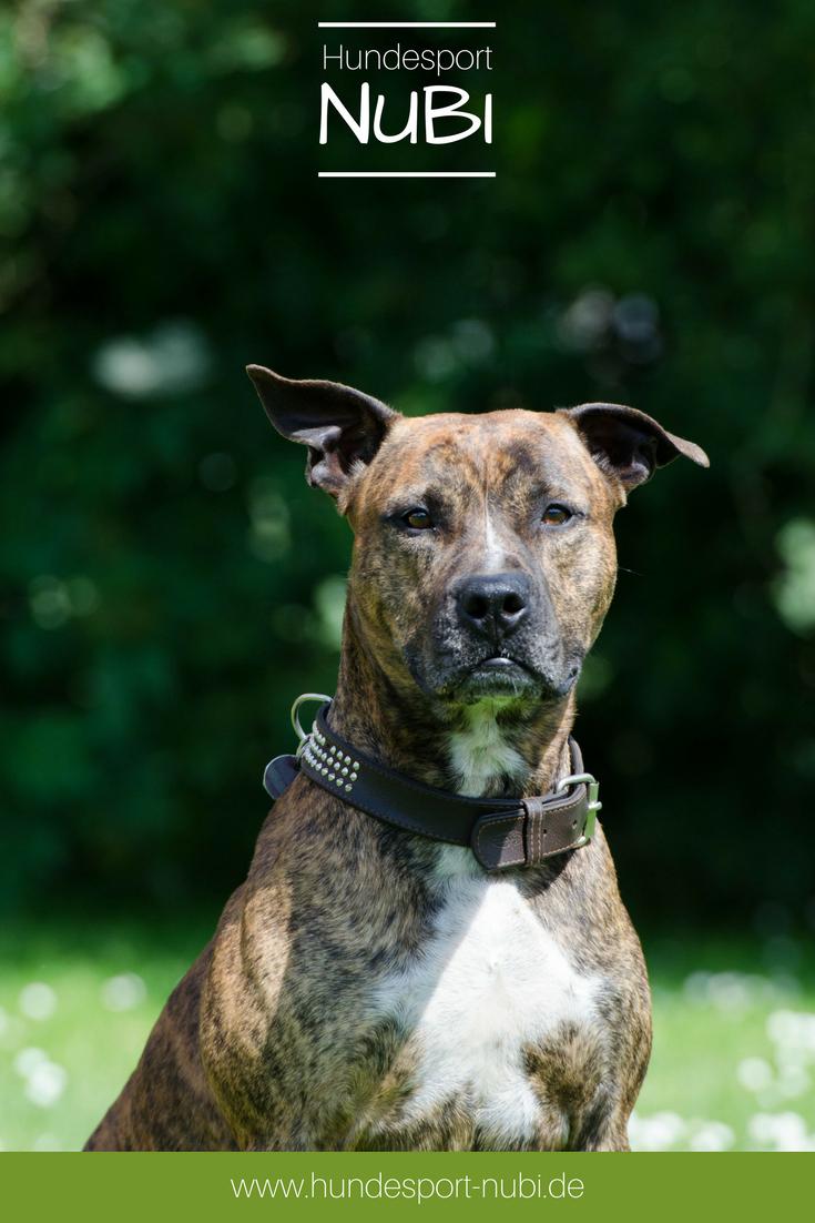 Pitbull terrier staffordshire bull hund