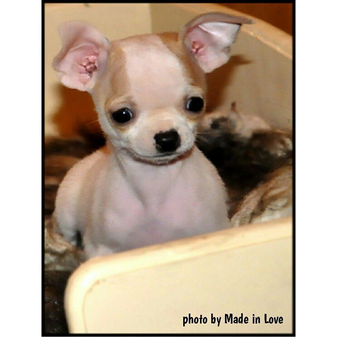Very cute chihuahua of my friend 😚
