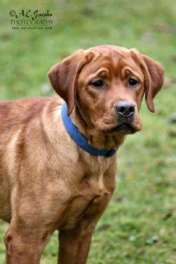 Fox Red Labrador Retriever Puppies Renescence Labradors Buy