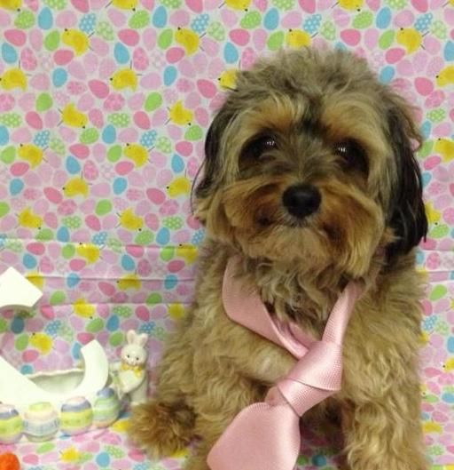 Adopt Cooper On Yorkshire Terrier Poodle Mix Dogs Terrier Poodle Mix