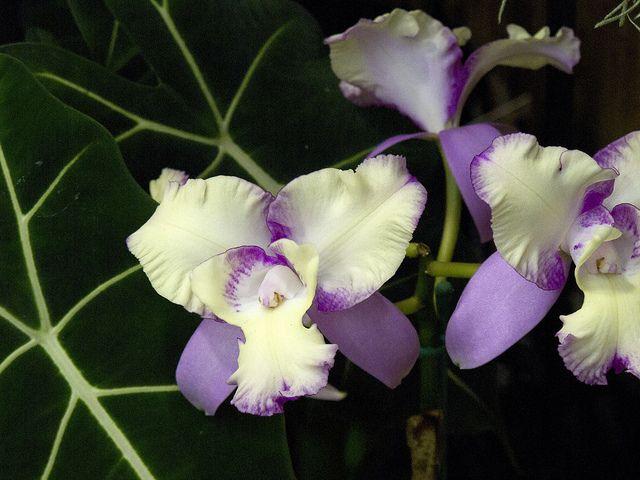 Cattleya Pisgah Fantasy Cattleya Beautiful Flowers Orchids