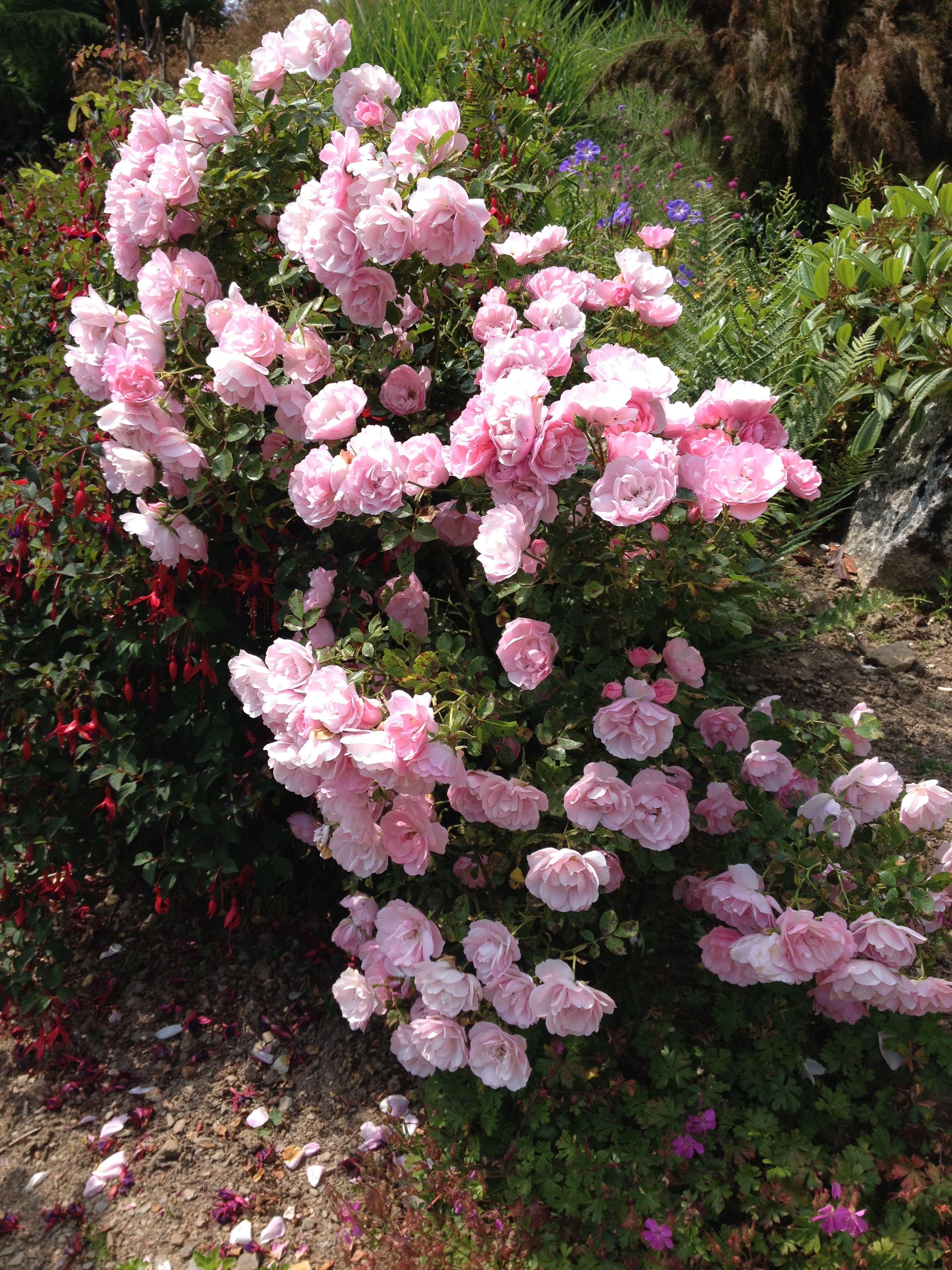 Beautiful rose at Yolland Gardens, near Ashburton, Devon