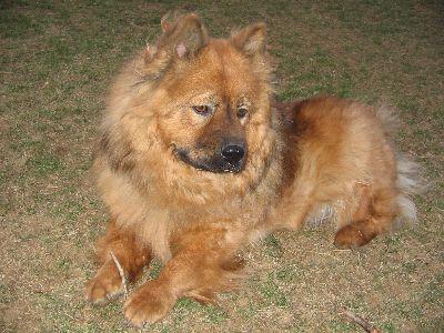 Tibetian Mastiff Huge Looks Like A Giant Chow Chow Big Dog