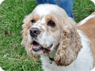 Searcy Ar Cocker Spaniel Mix Meet Nickle A Dog For Adoption Cocker Spaniel Mix Cocker Spaniel Spaniel