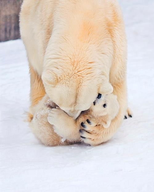 Polar Bear Mama Wrestling with Baby