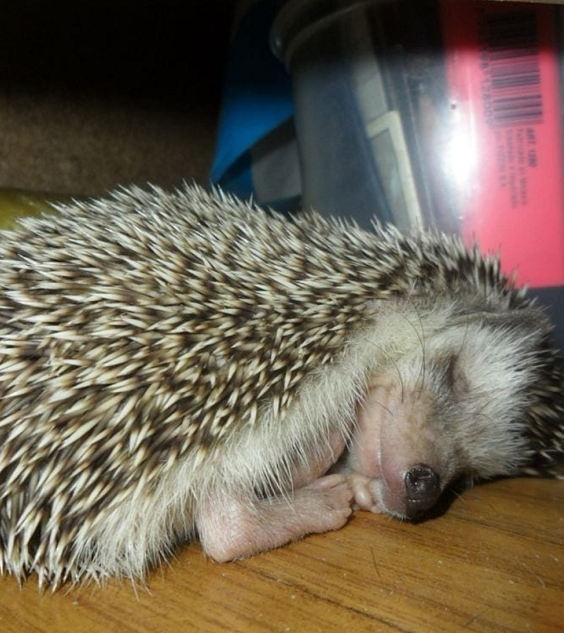 Pin On How To Raise A Pet Hedgehog