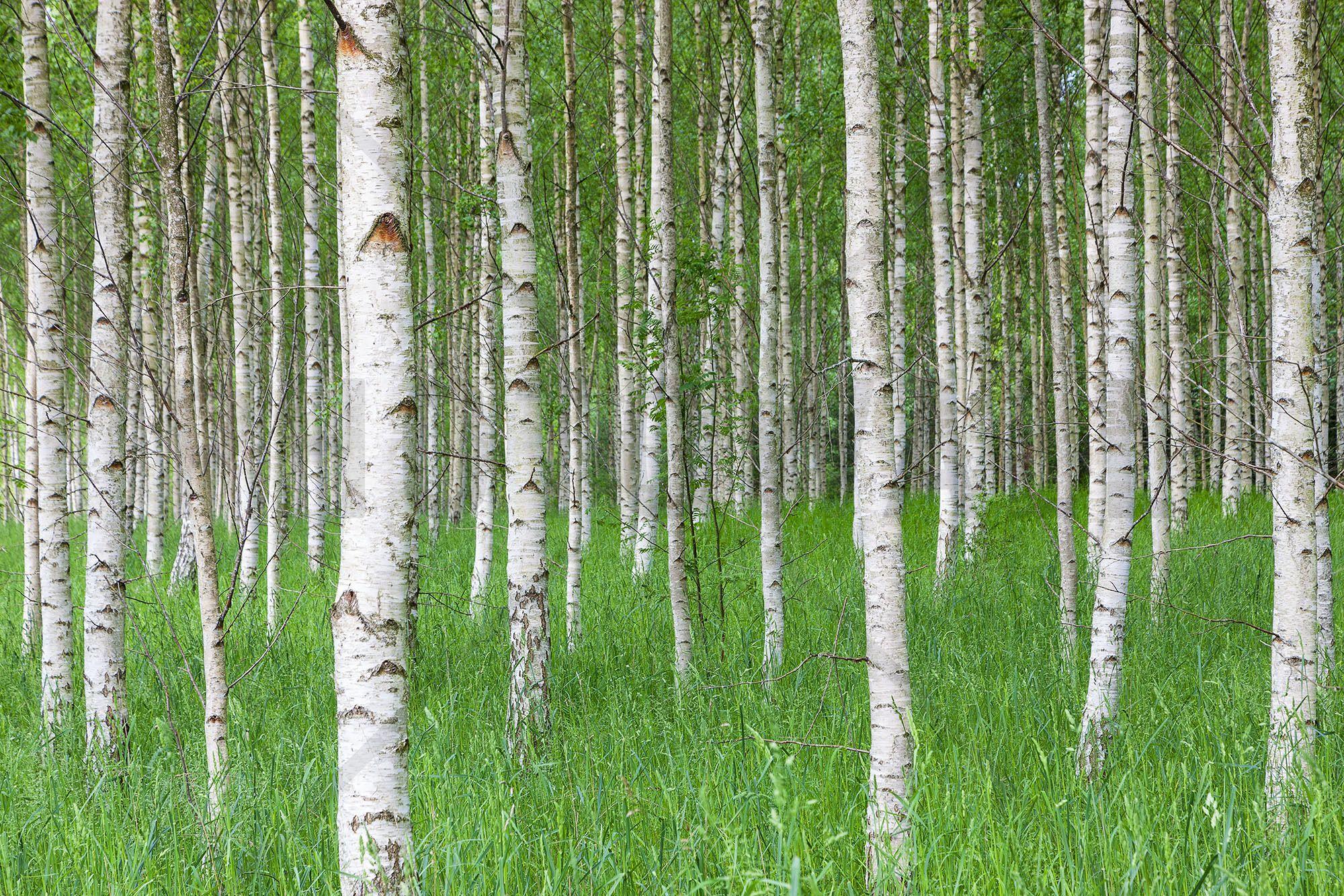 Birch Forest & Green Grass Wall Mural & Photo Wallpaper