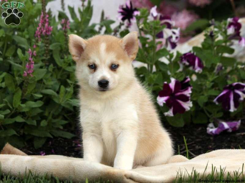 Rory Pomsky Puppy For Sale In Gap Pa Pomsky Puppies For Sale Pomsky Puppies Puppies