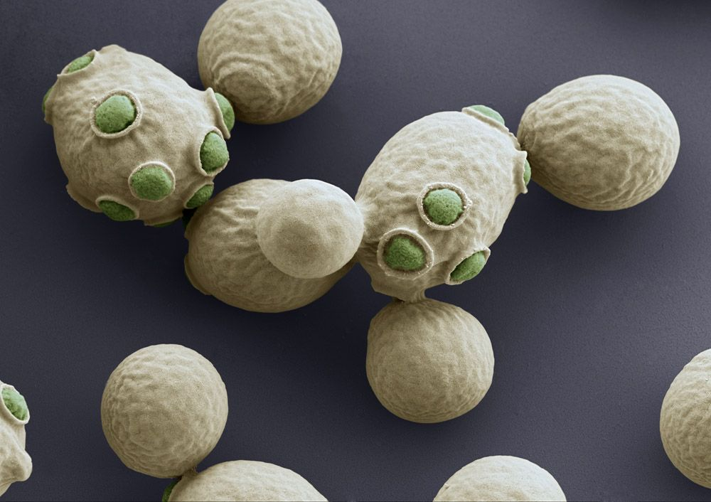 National Geographic Blogs Microscopic Photography Yeast Electron Microscope Images
