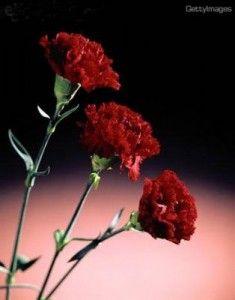 Cultivo De Claveles Reproducción Siembra Cuidados Y Variedades Claveles Jardines Tropicales Clavel Flor