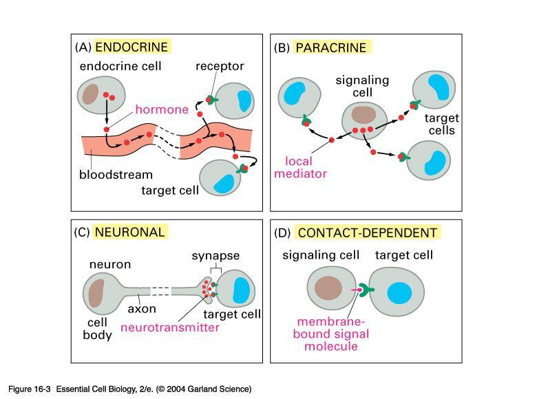 Cell To Cell Communication1 Ap Bio Pinterest Biology Ap