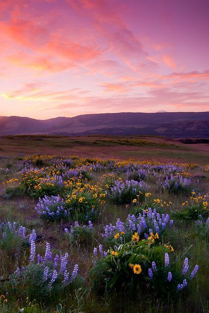 Balsamroot and Lupines (Columbia River Gorge)