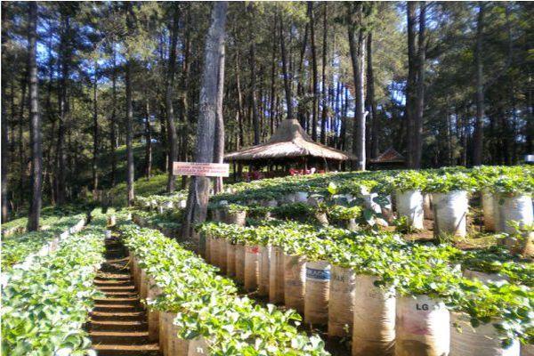 Kebun Strawberry Bandung Wisata