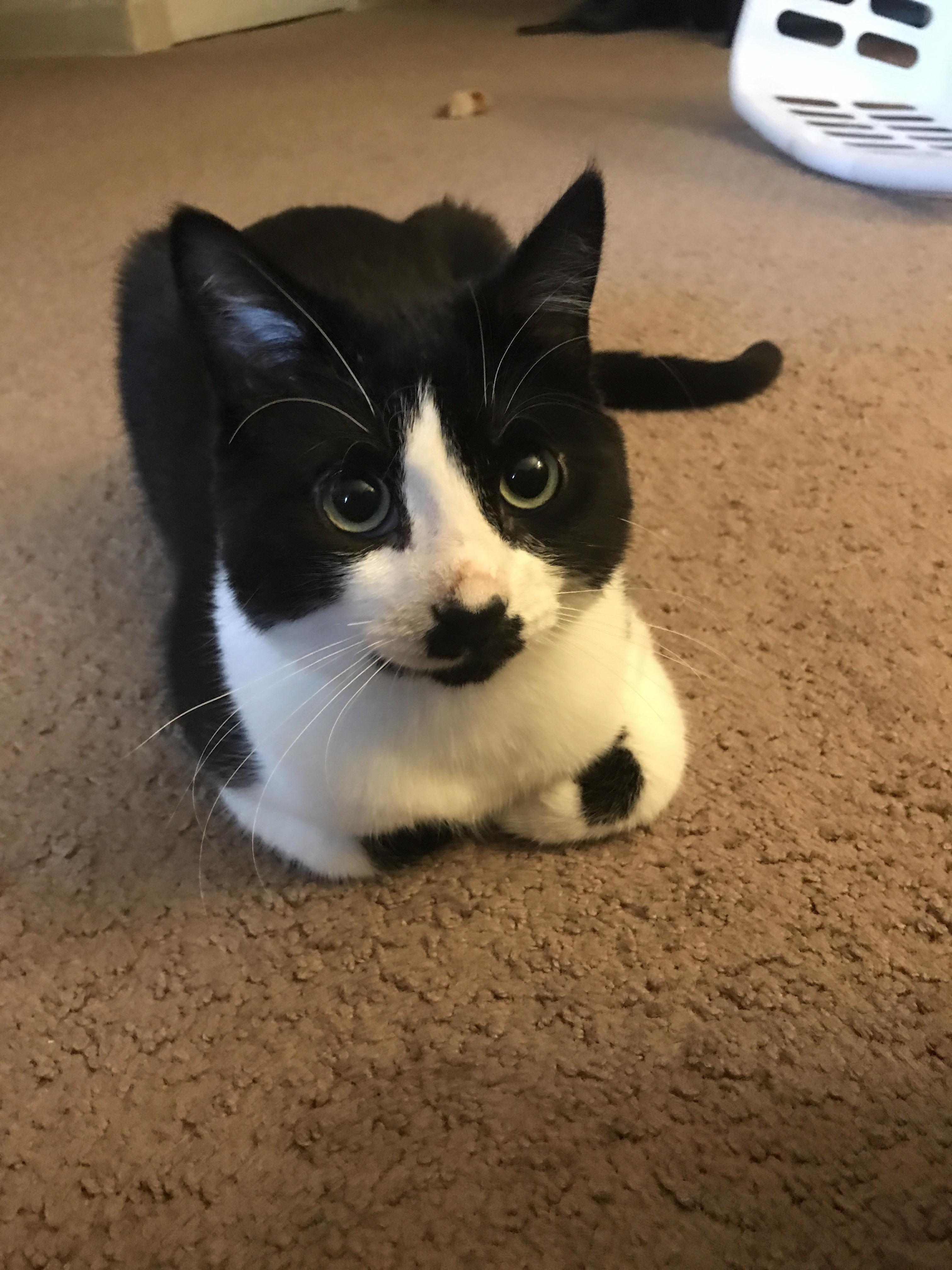 Batman Kitten Loaf Cats Kitten Cat S