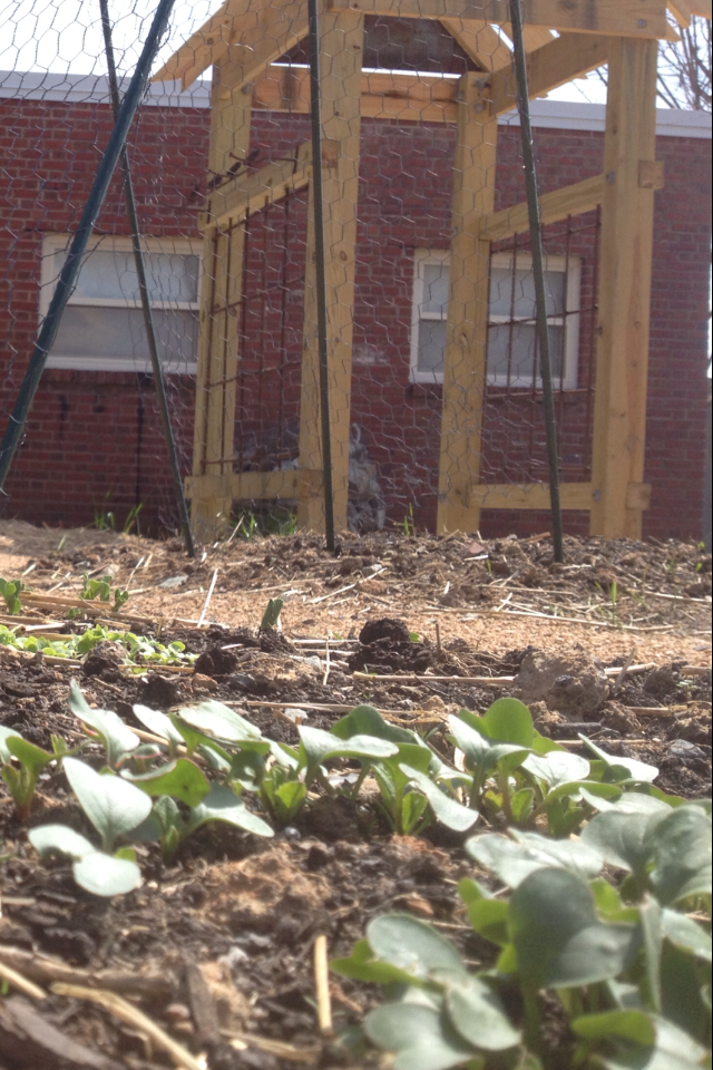 Lettuce, early beans, radishes...the spring garden is in full action at E.K. Powe!
