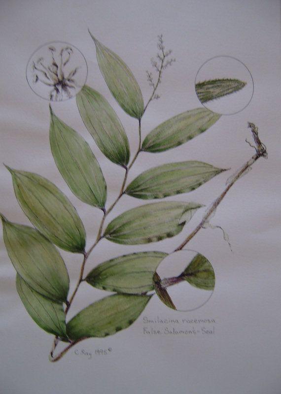 Botanical Illustration False Solomon's Seal by CindyRayDesigns, $100.00