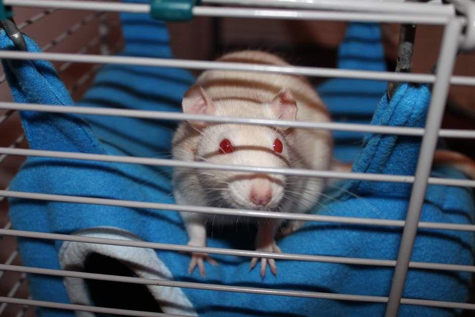 Albino Ratten Haben Zu Unrecht Einen Schlechten Ruf Ratten Bilder Ratten Farbratten