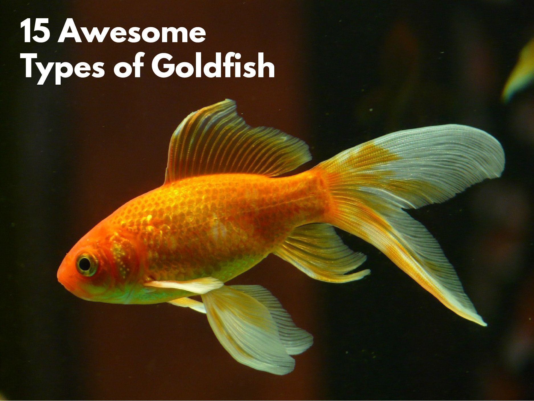 The ultimate guide to goldfish as pets – everything you need to.