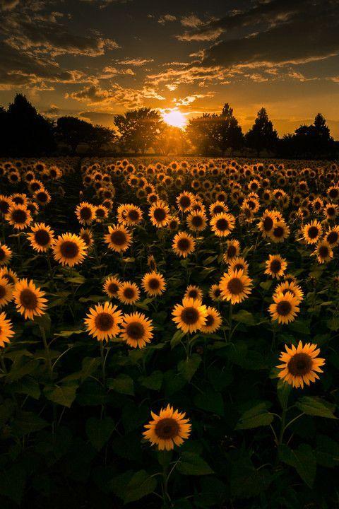 "seasonalwonderment "" Sunflowers at Sunrise "" Photos"
