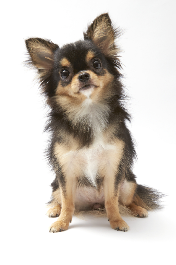 Black And Tan Cream Long Coated Chihuahua Isolated Over White