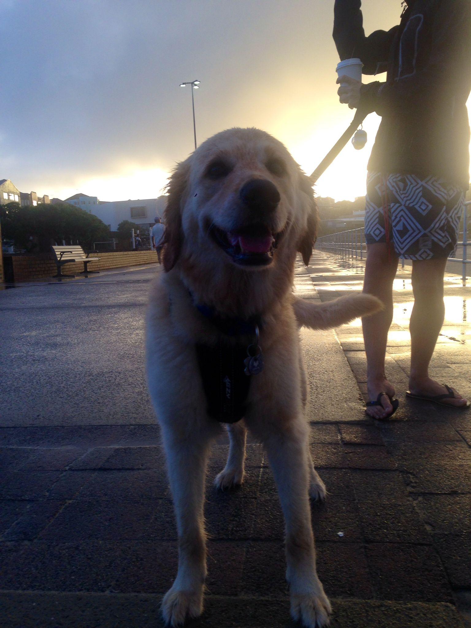 Monty Golden Retriever x Poodle   Pawshake