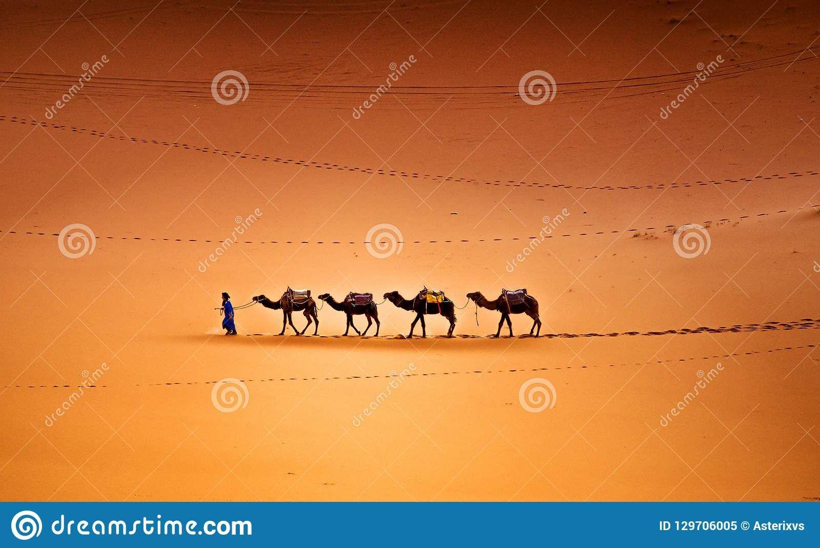 Camels Caravan In The Sahara Desert Morocco