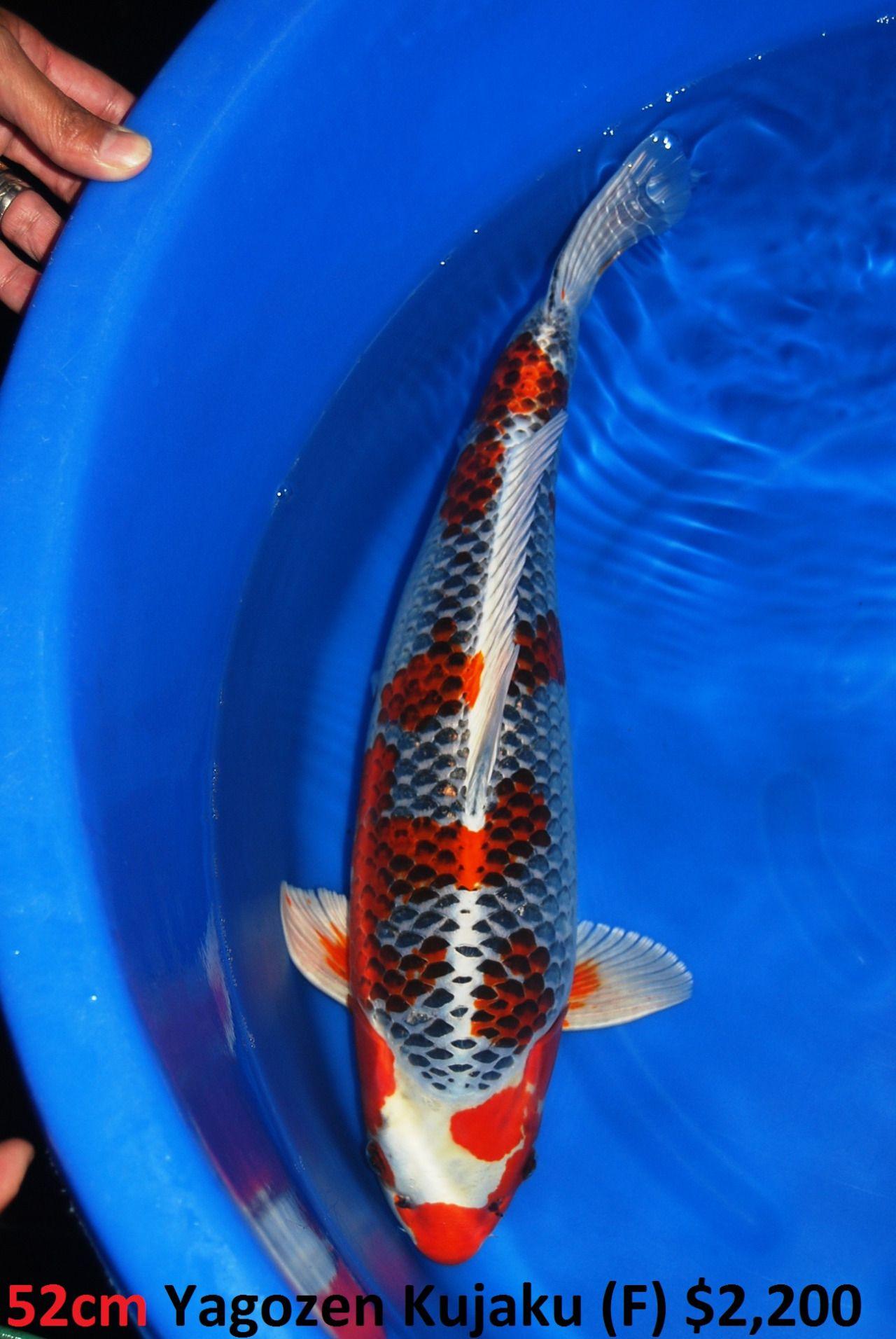Tumblr Mt1bcaxvws1sit3wyo10 1280 Jpg 1 280 1 912 Pixels Koi Fish Koi Carp Japanese Koi