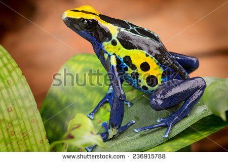 Poison Dart Frog Dendrobates Tinctorius From The Amazon Rain
