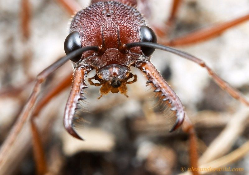 In The Life Of A Bulldog Ant Insects Ants Macro Photography