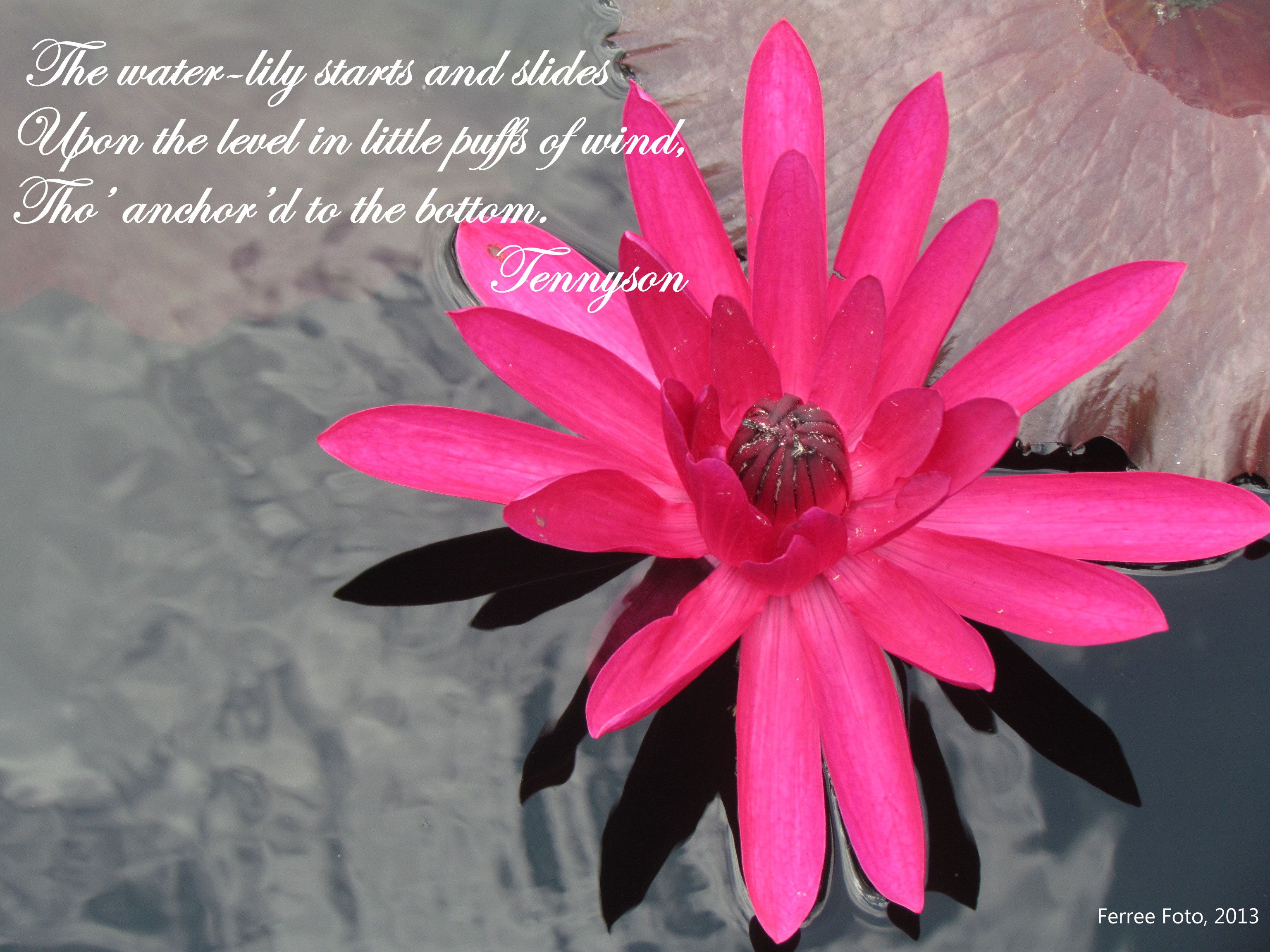 Tennyson's description of a water lily in The Princess. IV