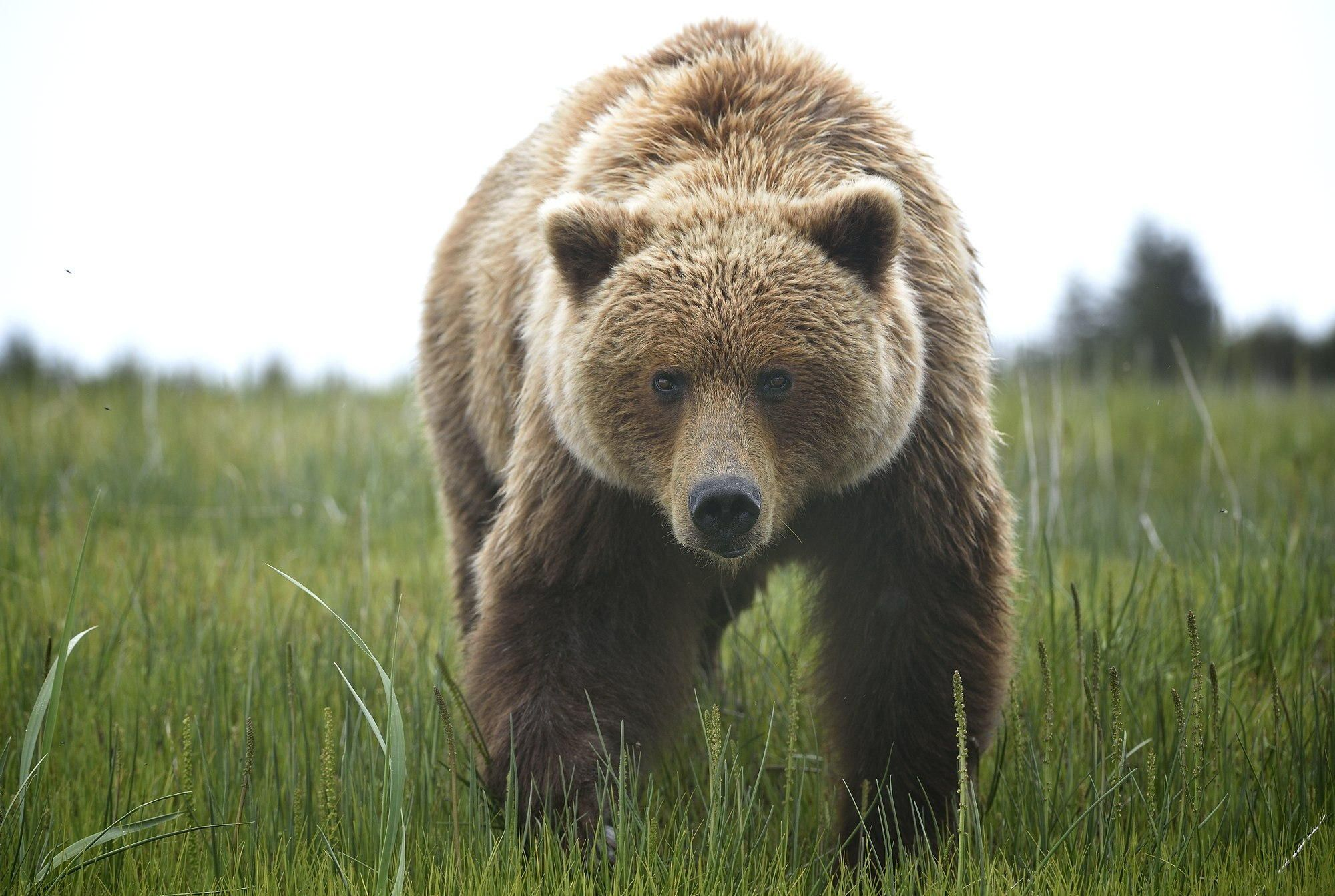 Who`s there.. - Brown bear in Lake Clark/ Alaska. Close enough..