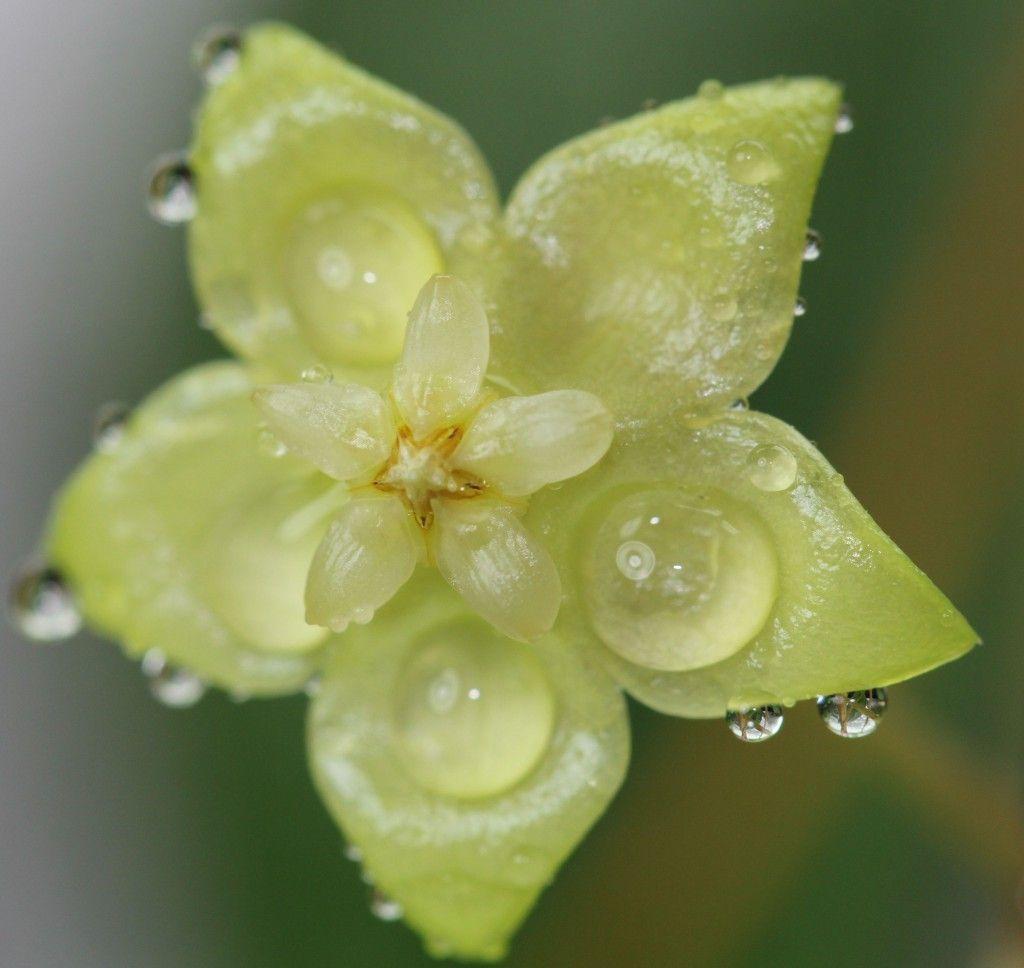 Hoya forbesii Sabah