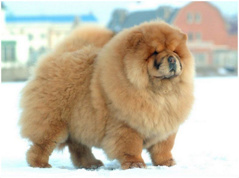 Chow Chow Dangerous Dogs Unique Dog Breeds Dog Breeds