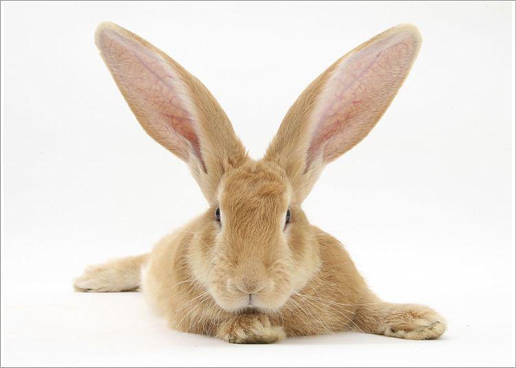 Photograph-Flemish giant rabbit with ears erect-7