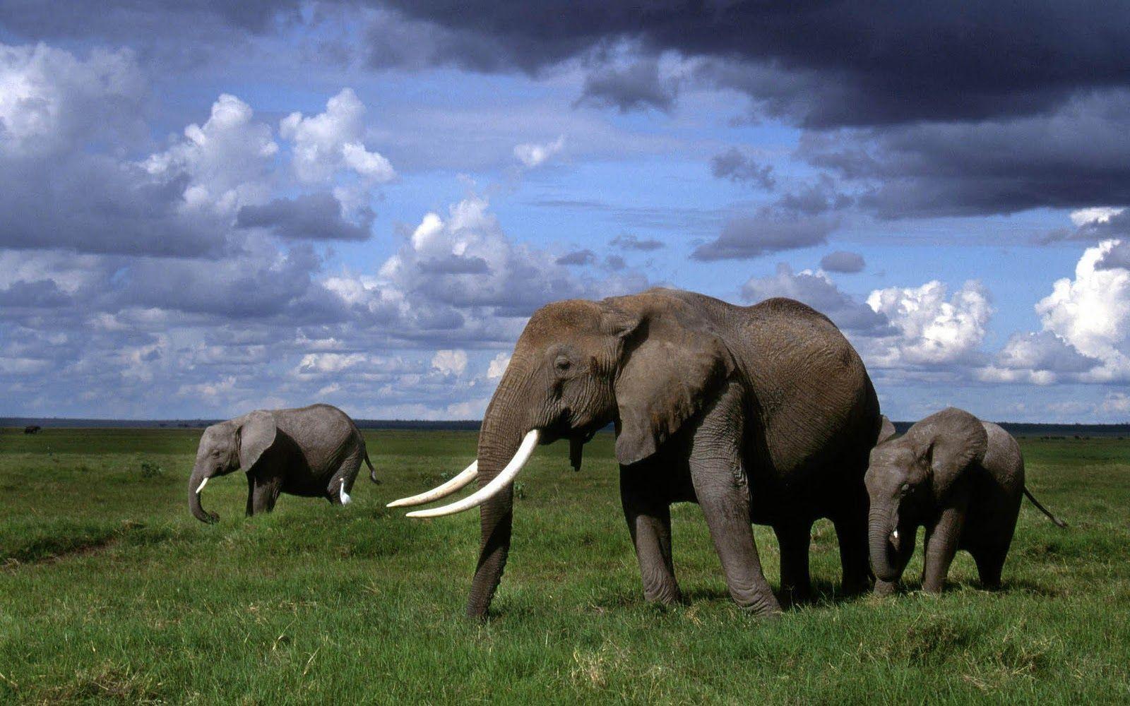 elephant tusk wallpapers animals elephant, animals, elephantelephant tusk wallpapers