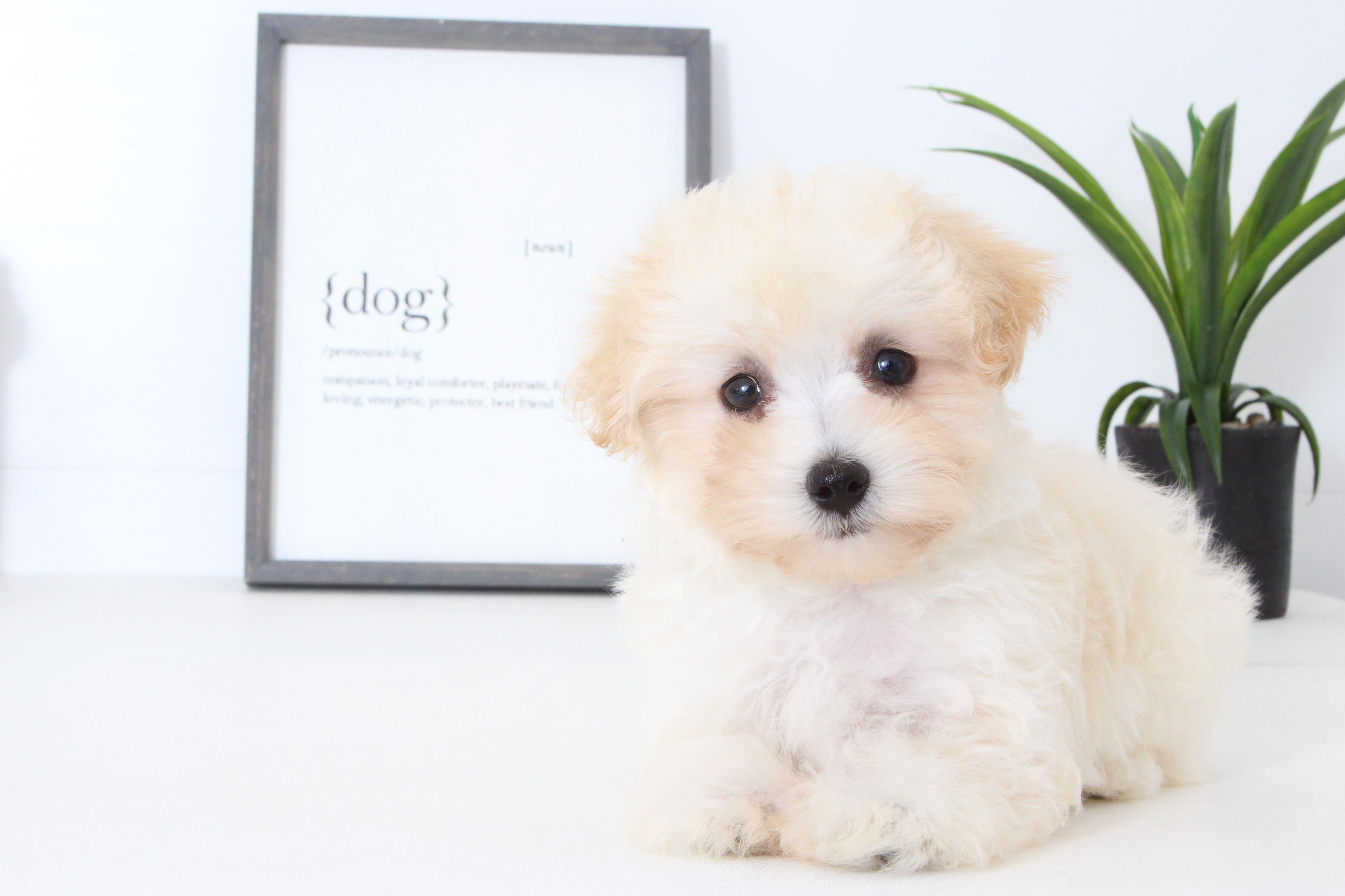 Ella Sweet Female Maltipoo Maltipoo Maltipoo Puppies For Sale