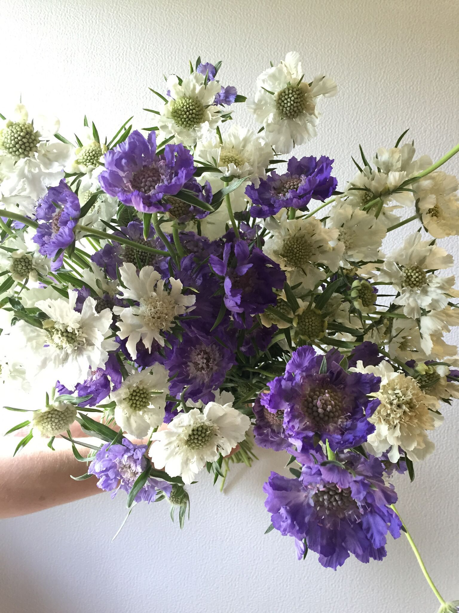Scabiosa July flowers, September flowers, June flower