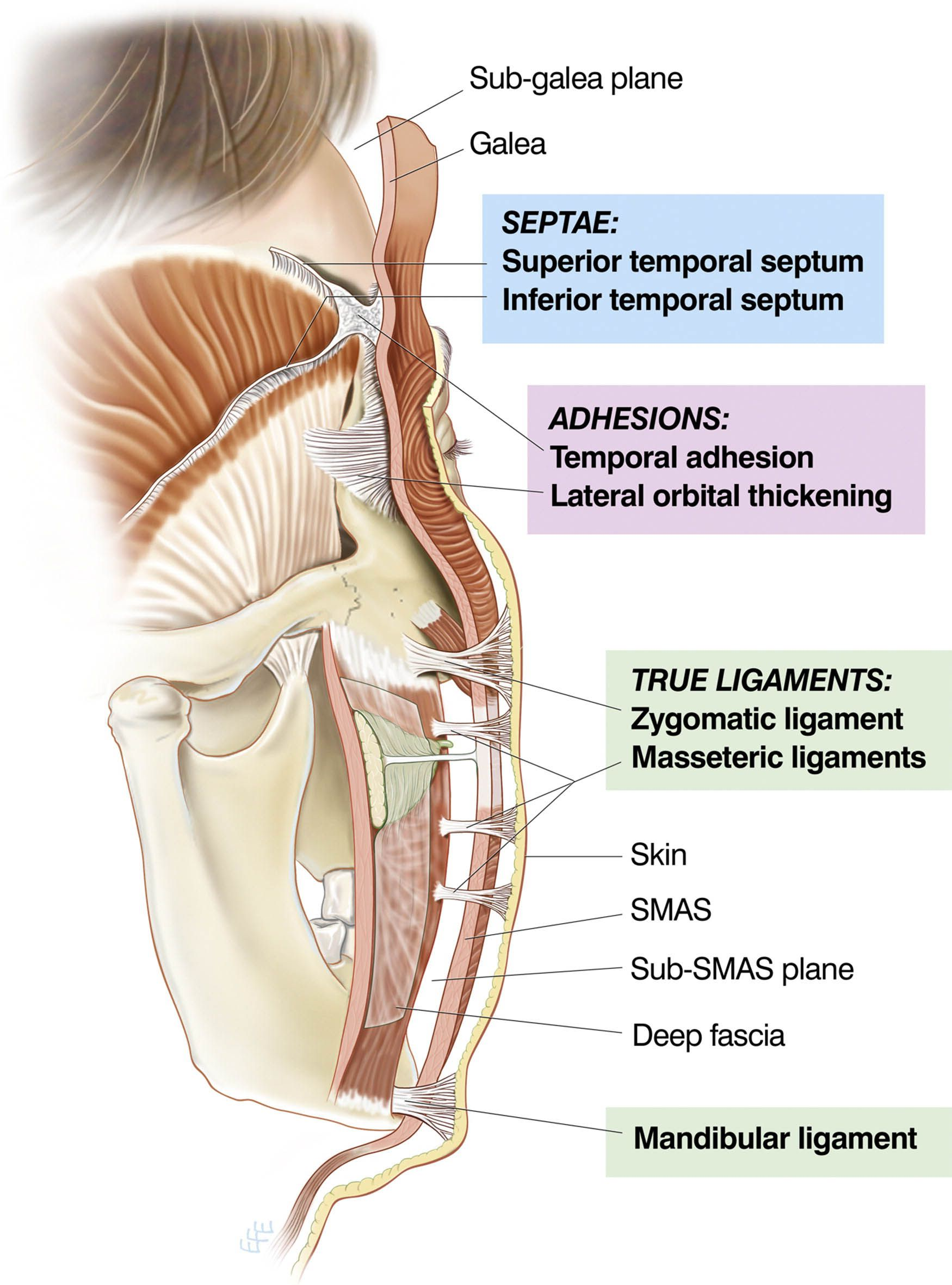 Fascia anatomy of the human back in detail - www.anatomynote.com ...