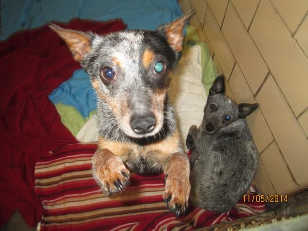 LUNAR & ECLIPSE-Australian Cattle Dog (Blue Heeler) Mix & Miniature Pinscher Tuscarawas County Dog Pound 1751 Tech Park Drive NE New Philadelphia, Ohio 44663   (330) 339-2616   Found stray, these 2 sisters are inseperable! Lunar is the shyer of the two - sweet high-spirited, and absolutely gorgeous. Both under 20 lbs.