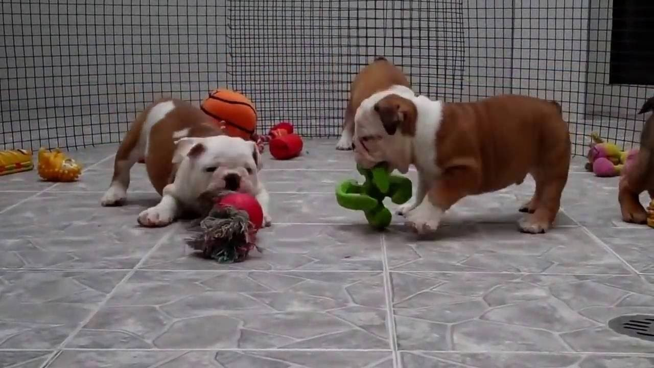 English Bulldog Puppies Maine Dogs And Puppies English Bulldog