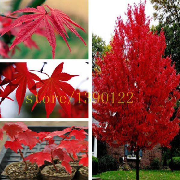 Spectacular  st cke american red maple samen baum samen ahorn f r zuhause GARTEN pflanzen einfach wachsen sehr